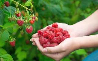 Как правильно обработать осенью малину от болезней и вредителей: основные принципы и особенности