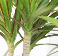 Драцена Лемон лайм: описание растения, размножение и уход в домашних условиях, фото