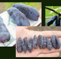 Ранний крупноплодный сорт жимолости Синий Утёс: описание сорта, посадка и уход, опылители, фото