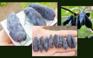Крупноплодный сорт жимолости Шахиня: описание, посадка и уход, опылители, фото