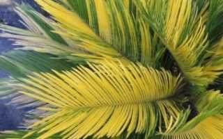 Почему у цикаса желтеют листья: причина, что делать