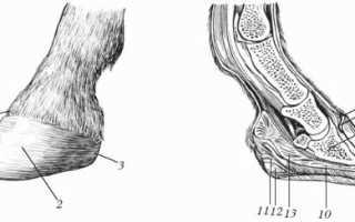 Копыта лошади: анатомия строения и части копыта — какое изнутри с фото