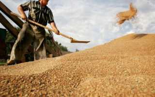 Когда убирают пшеницу с полей: уборка озимой и яровой в России, при какой влажности собирают, в каком месяце косят, когда созревает и поспевает
