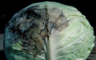 Почему капуста внутри чернеет: можно ли есть, правила хранения
