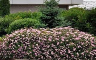 С чем сочетается спирея в ландшафтном дизайне, в саду, фото и композиции