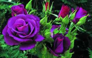 Фиолетовые розы: что означают, описание сортов с фото, основные правила выращивания и ухода