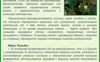 Ранний крупноплодный сорт чёрной смородины Виноградная: внешний вид и описание сорта, фото