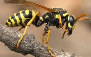 Пчелиный (осиный) волк: опасность для пасеки и человека, фото