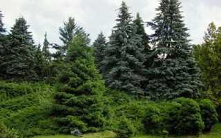 Что посадить рядом с туей, как влияет на плодовые деревья, можно ли сажать рядом с яблоней или грушей