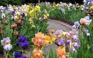 Ирисы в ландшафтном дизайне: фото, что посадить рядом с ирисами, с чем сочетаются и как красиво посадить на клумбе, дачном участке
