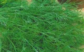 Укроп кустовой: лучшие сорта на зелень, фото, выращивание в открытом грунте