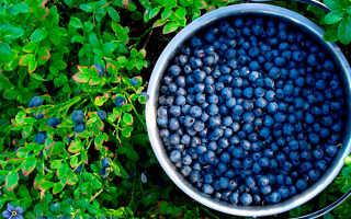 Популярные сорта голубики и садовой черники: описание с фото, что лучше для Подмосковья, характеристика