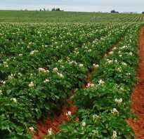 Картофель Голландка: характеристика и особенности сорта, плюсы и минусы, технология посадки и ухода за сортом, фото