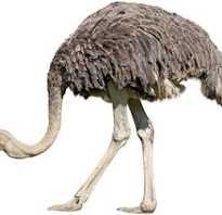 Мясо страуса: польза и вред, пищевая ценность, где купить, как выбрать и приготовить, какое на вкус, фото