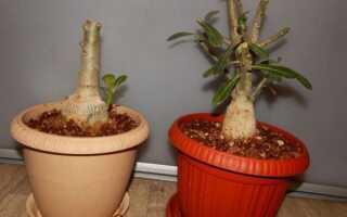 Адениум — выращивание в домашних условиях, уход, обрезка на фото