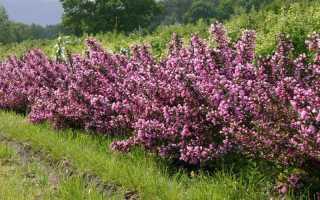 Вейгела в ландшафтном дизайне сада: с чем сочетается цветущая вейгела, фото