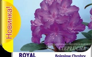 Рододендрон гибридный Krolowa Jadwiga (Royal Butterfly, королевская серия): описание сорта, особенности посадки и ухода