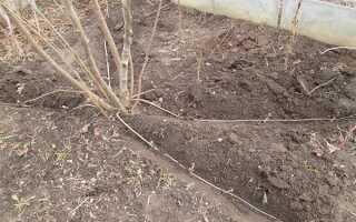 Лещина в Сибири: посадка и уход, выращивание фундука в открытом грунте, лучшие сорта, фото