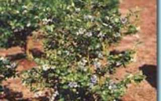Урожайность чёрной смородины с куста и 1 га, уход после сбора урожая, как повысить показатели
