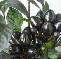 Декоративный перец Чёрный принц: съедобен или нет, описание, особенности выращивания и ухода, фото