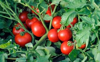 Самые лучшие сорта томатов для теплицы на Урале: ТОП-15 лучших сортов и их описание с фото