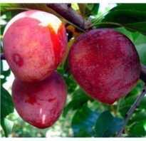 Слива Гигант Бербанк: описание и характеристика сорта, выращивание и уход в домашних условиях, фото