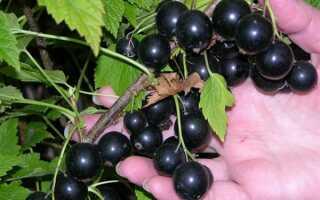 Сорт чёрной смородины Зуша: внешний вид и особенности, описание сорта, фото