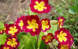Примула бесстебельная: выращивание из семян и уход в домашних условиях, описание сорта Потсдамские гиганты, фото