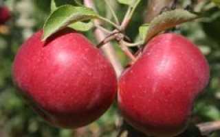 Яблоня Энтерпрайз: особенности и характеристика, особенности высадки, основные требования к уходу, фото