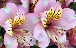 Цветы, похожие на ирисы, как называются, фото и описание