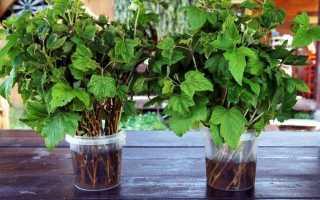 Можно ли вырастить смородину дома: на балконе, на подоконнике и в горшке, как правильно посадить, пошаговое выращивание