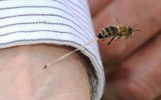 Почему пчела умирает после того, как ужалит человека, сколько живёт после укуса?