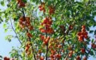 Абрикос Снегирёк: описание и характеристика сорта, особенности выращивания и ухода, фото
