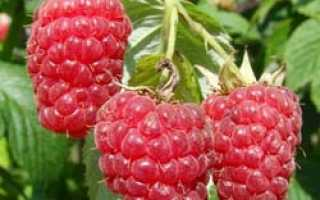 Традиционная (rubus) крупноплодная малина бесшипная сорта Гигант московский: внешний вид, описание, сроки созревания, фото