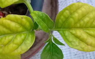 Желтеют листья у перцев в теплице: что делать, как бороться с помощью химических и народных средств, фото