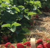 Почва для клубники: какой грунт любит клубника, особенности подготовки, способы увеличения плодородия, советы начинающим садоводам