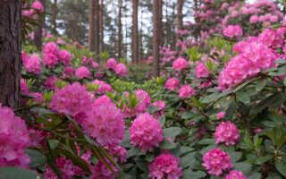 Чем подкормить рододендрон: весной и летом (в августе), осенью после цветения, правила подкисления грунта, виды удобрений