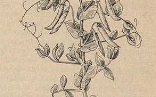 Кукуруза — это бобовые или нет? Характеристика и особенности культуры