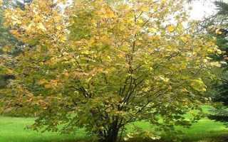 Лещина обыкновенная на Урале: выращивание и уход за растением в открытом грунте, лучшие сорта и фото