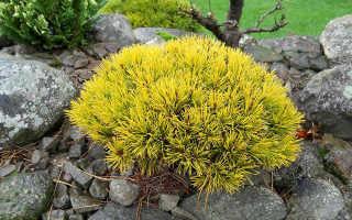 Сосна горная Карстенс Винтерголд (Pinus mugo Carstens Wintergold): фото и описание