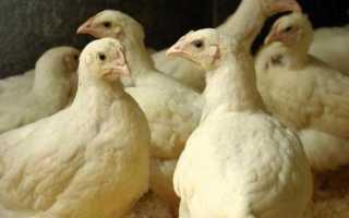 Несутся ли бройлерные куры: как получить яйца бройлеров в домашних условиях