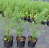 Как размножается лиственница: в природе, размножение черенками и отводками в домашних условиях, как укоренить веточку