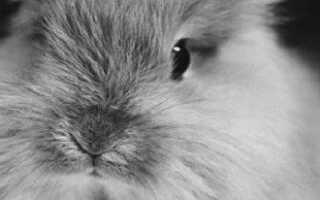 Ангорский декоративный кролик: описание породы и фото, уход и содержание в домашних условиях, чем кормить