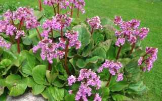 Бадан сердцелистный для открытого грунта: посадка и уход, сорта (Winterglut, Rotblum, Lilac Rose), фото