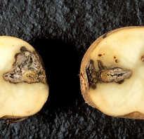 Гниль картофеля: причины, описание и лечение, что делать и как бороться, можно ли есть поражённый картофель, фото