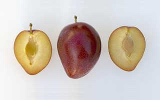 Сливово-вишнёвый гибрид: описание и характеристика, лучшие сорта, особенности посадки и ухода, фото