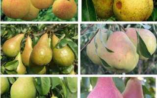 Груша Любимица Яковлева: характеристики и описание сорта, особенности посадки и ухода за деревом, фото