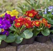 Уход за примулой после цветения в саду: надо ли обрезать, что делать когда отцвела, подготовка к зиме, как ухаживать осенью в открытом грунте