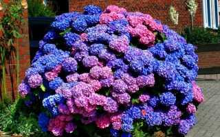 Гортензия Букет Роуз (крупнолистная Bouquet Rose): описание и фото, посадка и уход, морозостойкость, макрофила