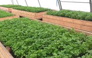 Выращивание петрушки в теплице: достоинства и недостатки, сроки, посадка и выращивание